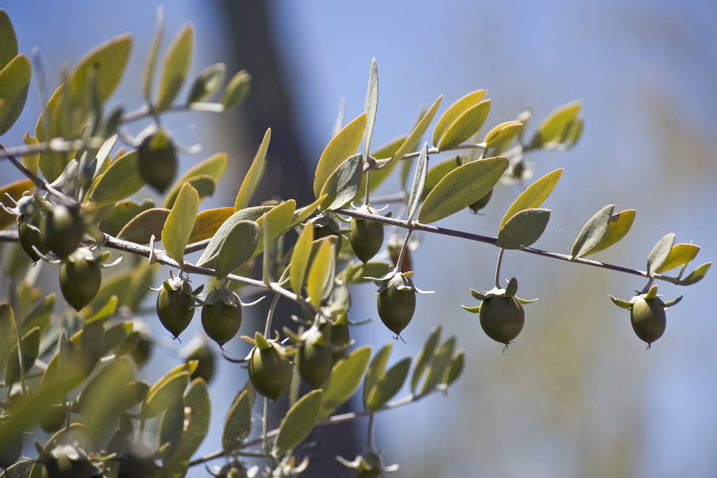 Jojoba photo